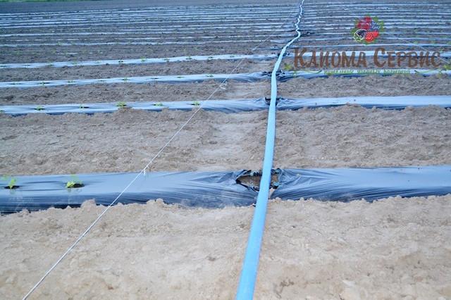 капельный полив для плантации малины, органицация капельного полива на плантации малины