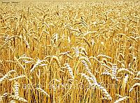 Пшениця яра тверда Спадщина