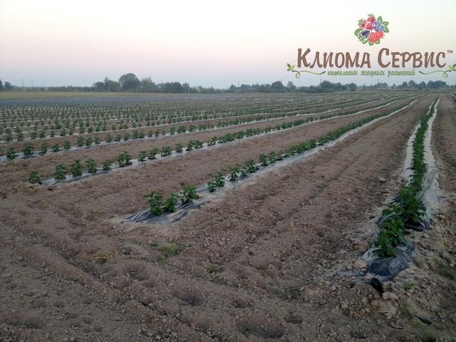 фото плантации малины через месяц после посадки на рассаднике Клиома Сервис