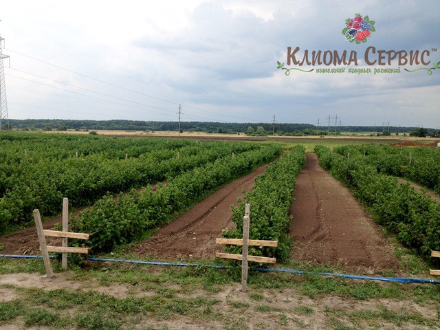 фото плантации малины на рассаднике Клиома Сервис