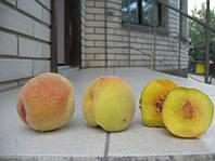 Саджанці персика Пам'яті Гришко, фото 1