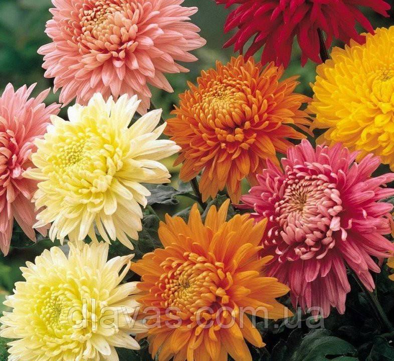 Хризантема крупноцветковая срезочная смесь