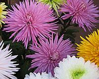 Хризантема  срезочная  АНАСТАСИЯ лиловая, фото 1
