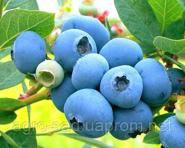 Голубика и черника отличия - куст ягоды состав калорийность фото