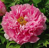Пион древовидный светло-розовый Yin hong qiao dui / 1 корневище