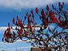 Сумах пухнастий / оленерогий 2 річний, Сумах Пушистый / Оленерогий / Уксусное дерево, Rhus typhina, фото 4