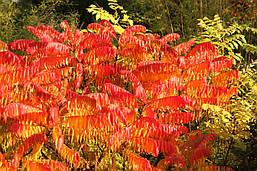 Сумах пухнастий / оленерогий 2 річний, Сумах Пушистый / Оленерогий / Уксусное дерево, Rhus typhina, фото 3