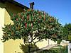 Сумах пухнастий / оленерогий 2 річний, Сумах Пушистый / Оленерогий / Уксусное дерево, Rhus typhina, фото 5