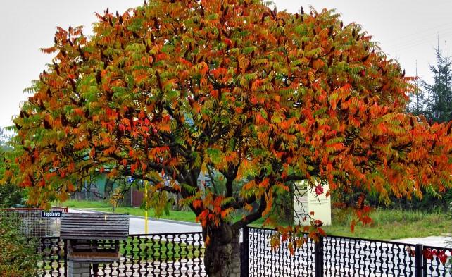 Сумах пухнастий / оленерогий 2 річний, Сумах Пушистый / Оленерогий / Уксусное дерево, Rhus typhina