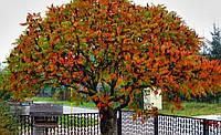 Сумах пухнастий / оленерогий 3 річний, Сумах Пушистый / Оленерогий / Уксусное дерево, Rhus typhina