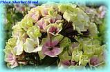 Флокс Sherbet Blend (Смесь Щербета), фото 2