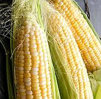 Семена кукурузы сахарной Старшайн F1 Syngenta 50 000 шт