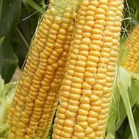 Семена кукурузы сахарной Шайнрок F1 Syngenta 100 000 шт