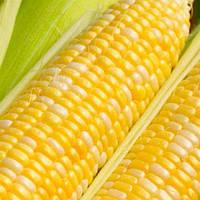 Семена кукурузы сахарной Мореланд GSS 1453 F1 Syngenta 100 000 шт
