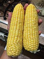 Семена сахарной кукурузы Багратион F1, от 1000 шт, МНАГОР