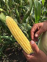 Семена сахарной кукурузы Барселона F1,  от 1000 шт, МНАГОР