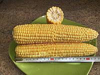 Семена сахарной кукурузы Юрмала F1, МНАГОР
