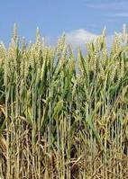 Пшениця яра тверда Нащадок