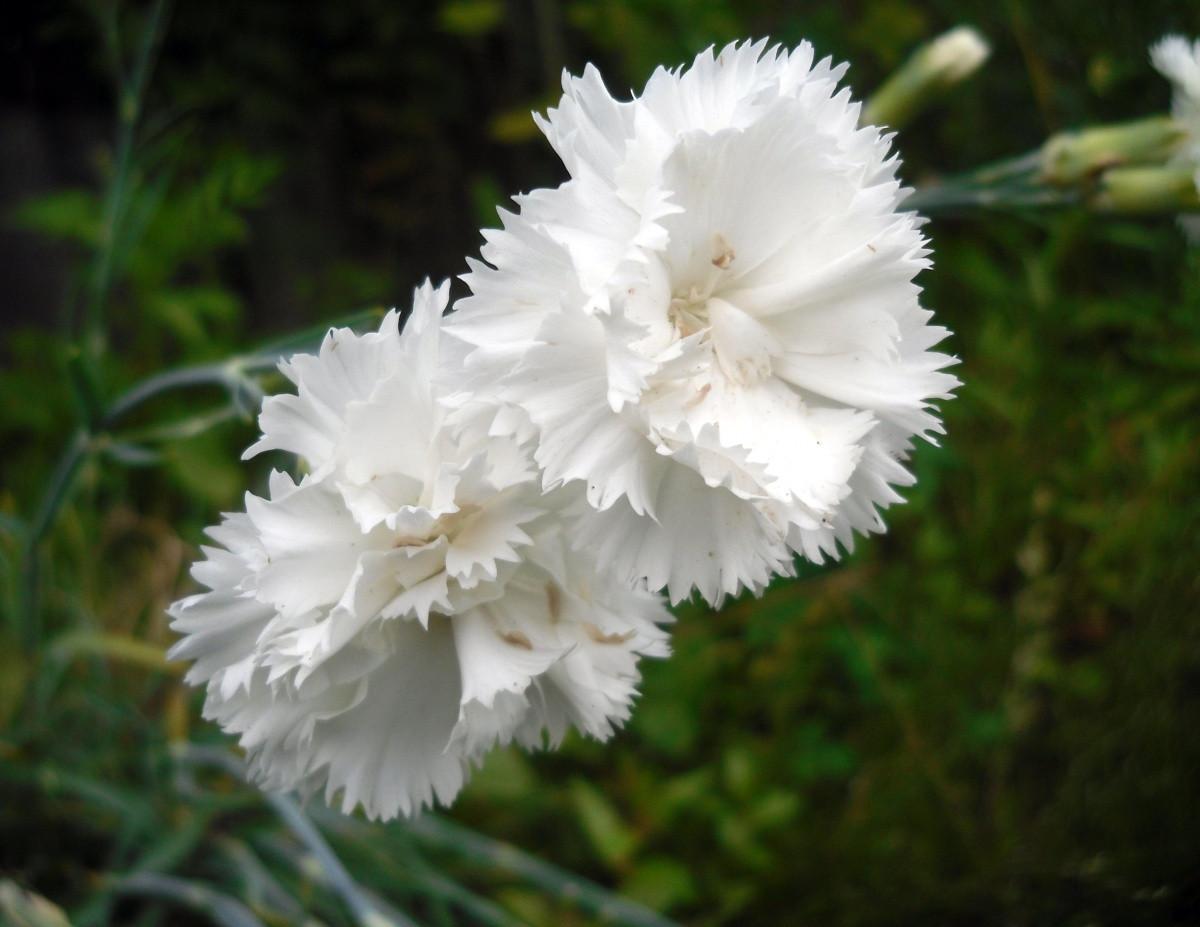 Гвоздика Шабо Белая 0,1 г