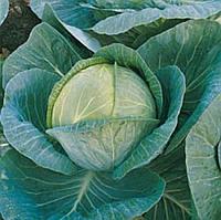 Семена капусты б/к Мегатон F1, от 20 семян, Bejo 2500 шт.