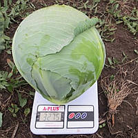 Семена капусты б/к Декурион F1, от 2500 шт, Clause
