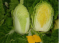 Семена пекинской капусты Табалуга F1, 1000 шт. Sakata
