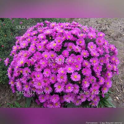 Астра кустарниковая 'Anneke' в горшке 9х9х10 см