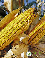 Семена среднеспелого гибрида кукурузы ФРУКТИС Альфа Химгрупп
