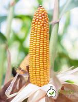 Семена простого гибрида кукурузы БЕЙМ Альфа Химгрупп