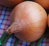 Семена репчатого лука Хилтон F1, от 1 г, Syngenta