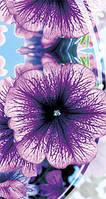 Петуния низкорослая Дэдди фиолетовая F1