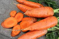 Семена моркови Гретта F1, от 25000 шт, Agri Saaten