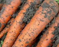 Семена моркови Каротан, от 1 г, Rijk Zwaan, Голландия
