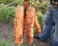 Семена моркови Монанта, от 50 г, Rijk Zwaan, Голландия