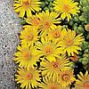 Делосперма 'Yellow Ice Plant' в горшке 9х9х10 см