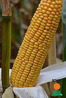 Семена кукурузы Агро Полис от КВС (KWS)
