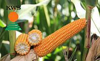 Семена кукурузы Богатырь от КВС (KWS)