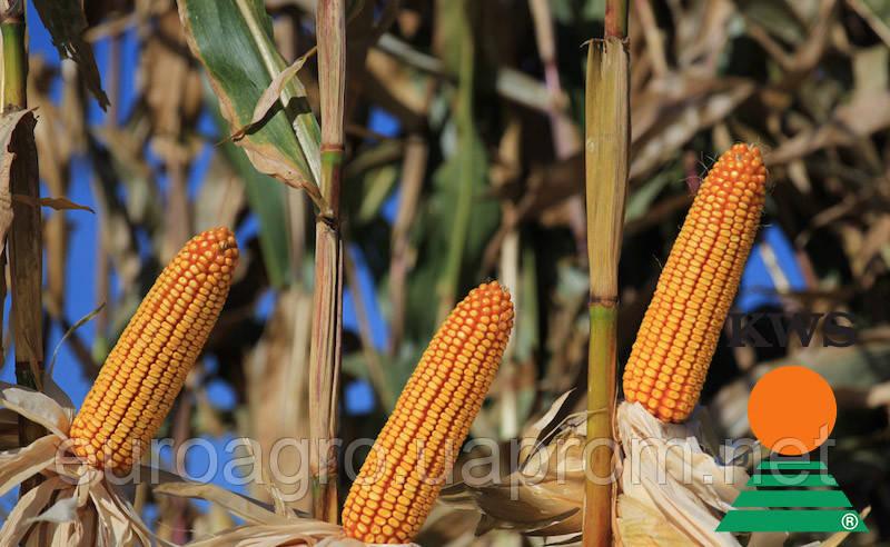 Семена кукурузы АМАРОС от КВС (KWS)