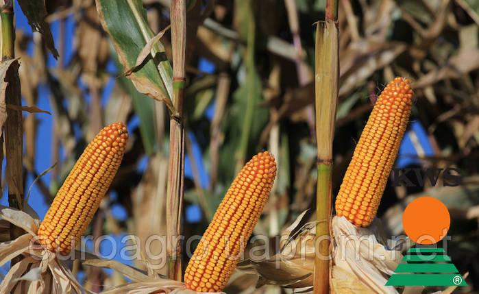 Семена кукурузы АМАРОС от КВС (KWS), фото 2