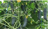 Семена огурца Седрик F1, от 10 семян, Enza Zaden