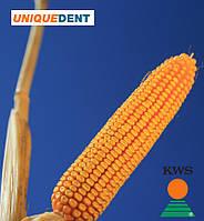 Семена кукурузы КВС 2323 от КВС (KWS)
