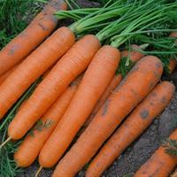 Семена моркови Сатурно F1. Упаковка 25 000 семян. Производитель Clause