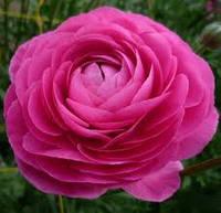 Лютик (ранункулюс) азиатский розовый 5 клубней/уп.