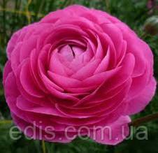 Жовтець (ранункулюс/лютик) азіатський рожевий 5 бульб/уп.