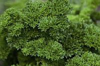 Семена кудрявой петрушки Изумруд, от 100 г, Agri Saaten