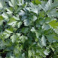 Семена петрушки листовой Господыня Nasko от 25 г