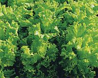 Семена салата Перл Джем, от 50 шт, Enza Zaden