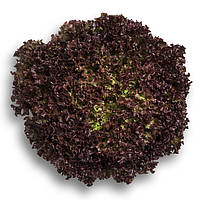Семена салата Вилбур, от 1000 шт. драже, Rijk Zwaan