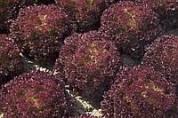 Семена салата Конкорд, 1000 шт, Rijk Zwaan
