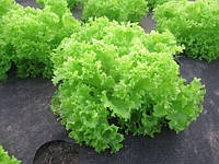 Семена салата Оникс, 5000 шт, Nunhems